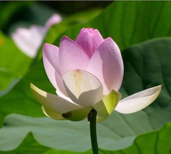 Fleur de Lotus. Fleur_10