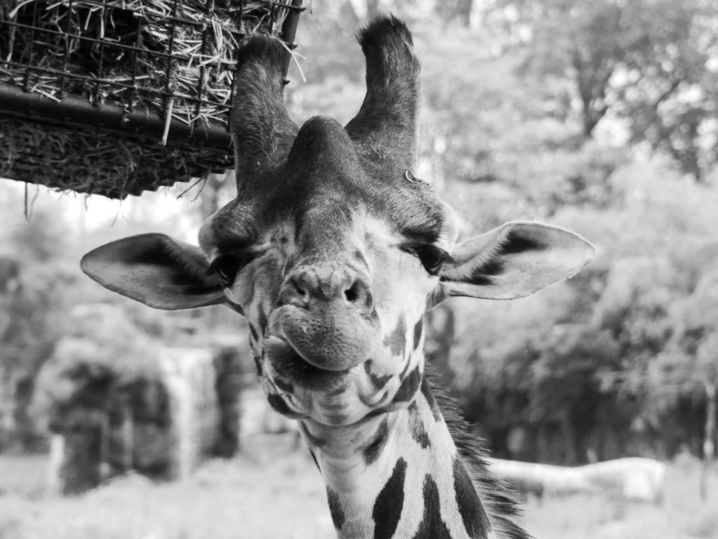 Girafe  Girafe11