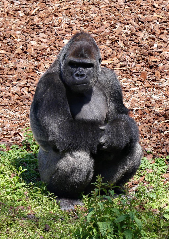 Gorille  Gorill11