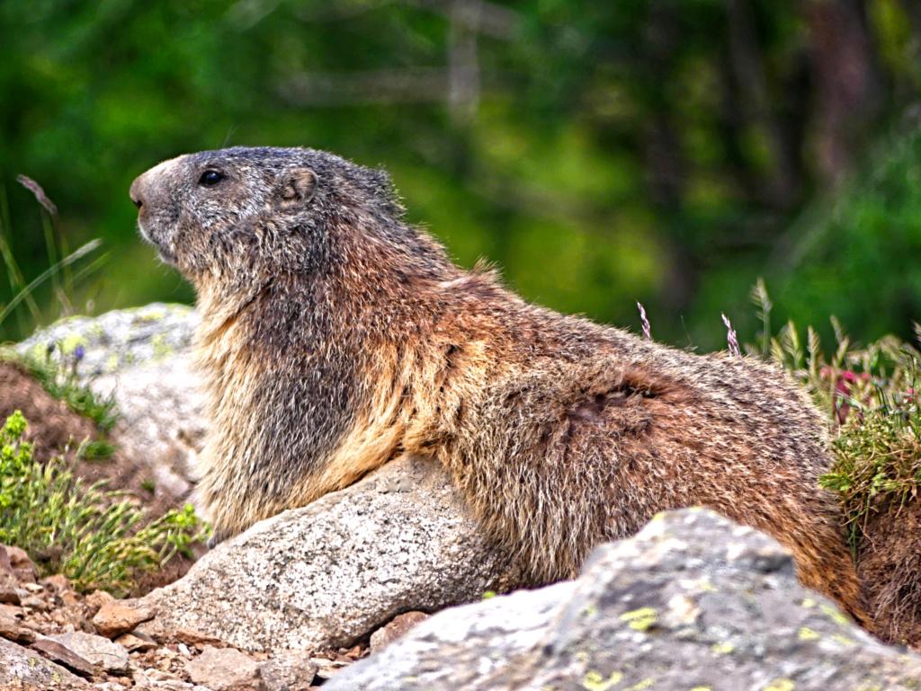 Marmotte  Marmot12