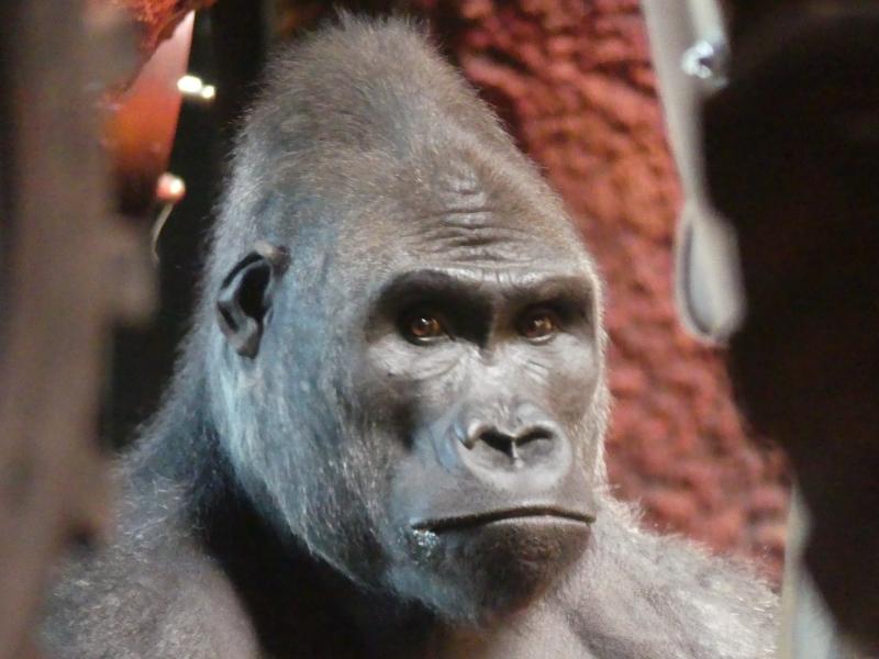 Gorille  P1630710