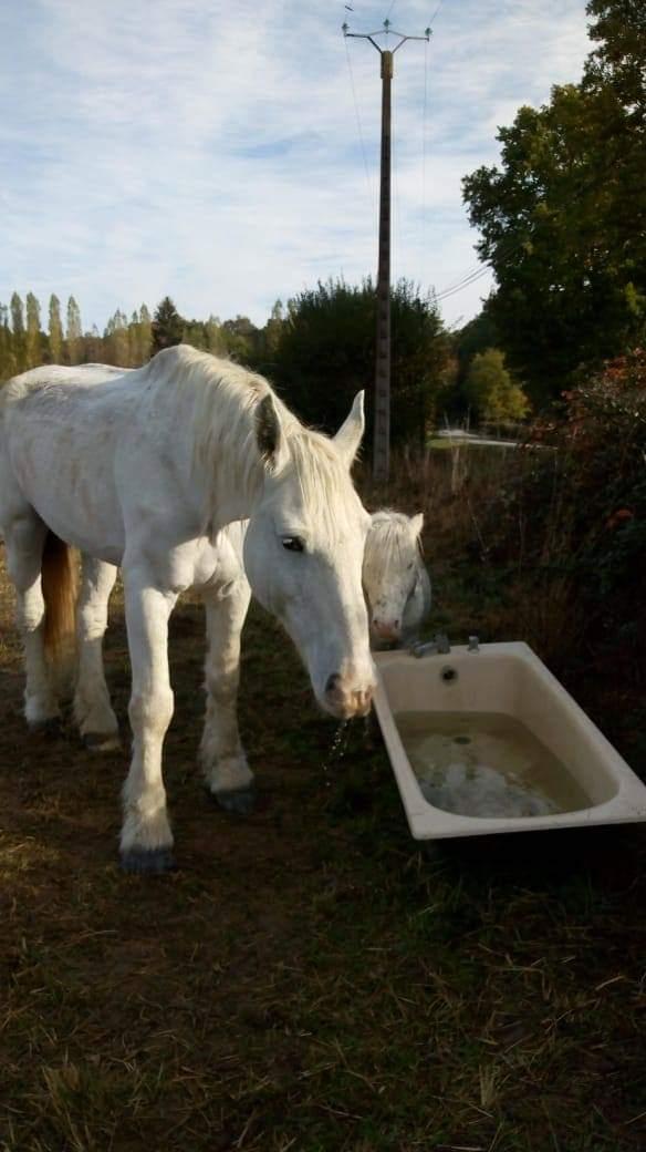 (45) LAVALLIERE – Jument Trait Boulonnais née en 1999 – Non montable - Frais d'adoption 50€  2018_422
