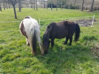 VAVAVROUM (2010) et APACHE(2009) - ONC poneys type Shetland - adoptés en mars 2019 par Sylvie 2019_213