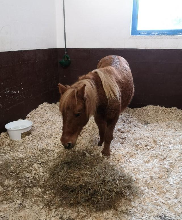 CARAMEL – Ponette ONC typée Shetland née en 1999 - Reste chez sa propriétaire 20201353