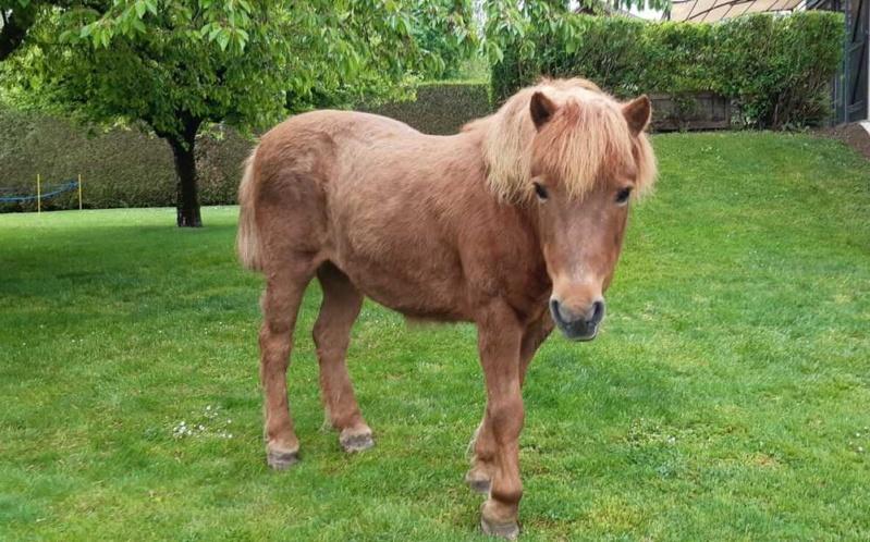 CARAMEL – Ponette ONC typée Shetland née en 1999 - Reste chez sa propriétaire 2020_431