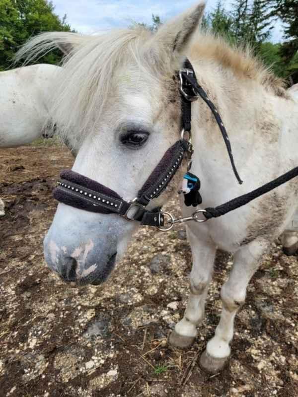 APACHE - ONC poney typé Shetland né en 1997- adopté en juillet 2015 par Claire 20211421