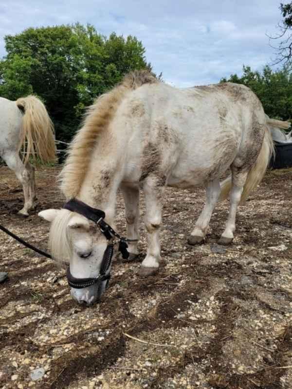 APACHE - ONC poney typé Shetland né en 1997- adopté en juillet 2015 par Claire 20211422