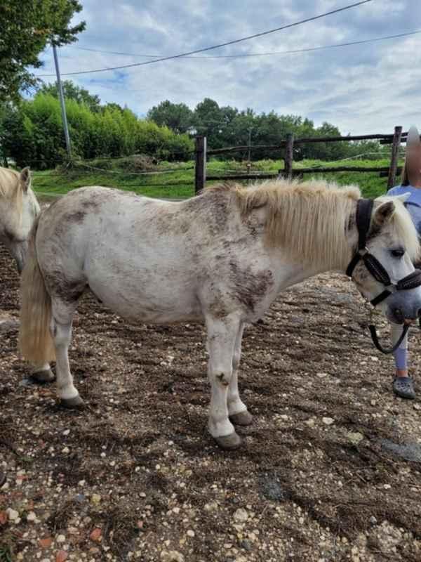 APACHE - ONC poney typé Shetland né en 1997- adopté en juillet 2015 par Claire 20211424