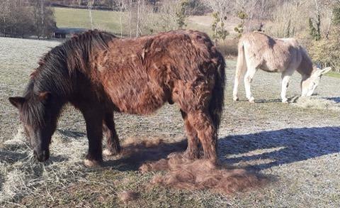 (02) ZEBULON - ONC poney né en 1997 - NON MONTABLE - A ADOPTER (126 € + don libre)   2021_090