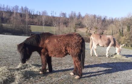 (02) ZEBULON - ONC poney né en 1997 - NON MONTABLE - A ADOPTER (126 € + don libre)   2021_092