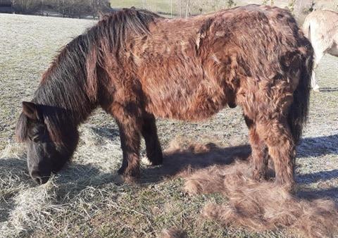 (02) ZEBULON - ONC poney né en 1997 - NON MONTABLE - A ADOPTER (126 € + don libre)   2021_096