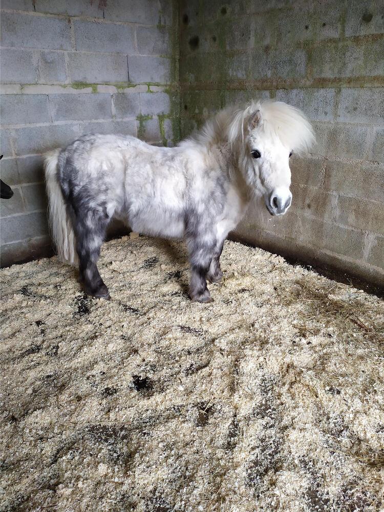 BOBb - ONC Poney typé Shetland  né en 2011 - adopté en décembre 2014 par Christian 2021_099