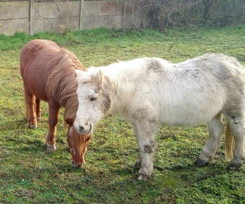 VANILLE (ONC Poney -1992) & CHIPIE (ONC Poney - 1999) - placées par les propriétaires, hors GPLV 2021_328