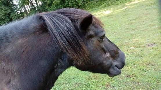 ZEBULON - ONC poney né en 1997 - adopté en mai 2021 par Marie-Christine 2021_934