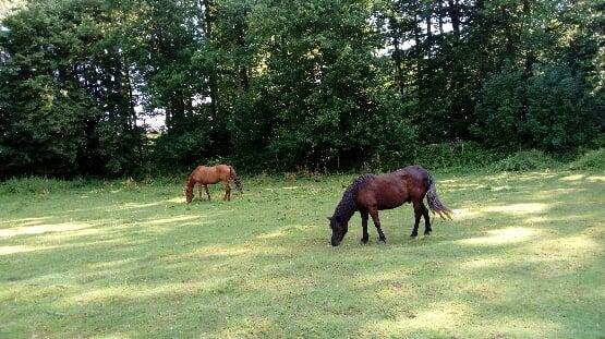 ZEBULON - ONC poney né en 1997 - adopté en mai 2021 par Marie-Christine 2021_935