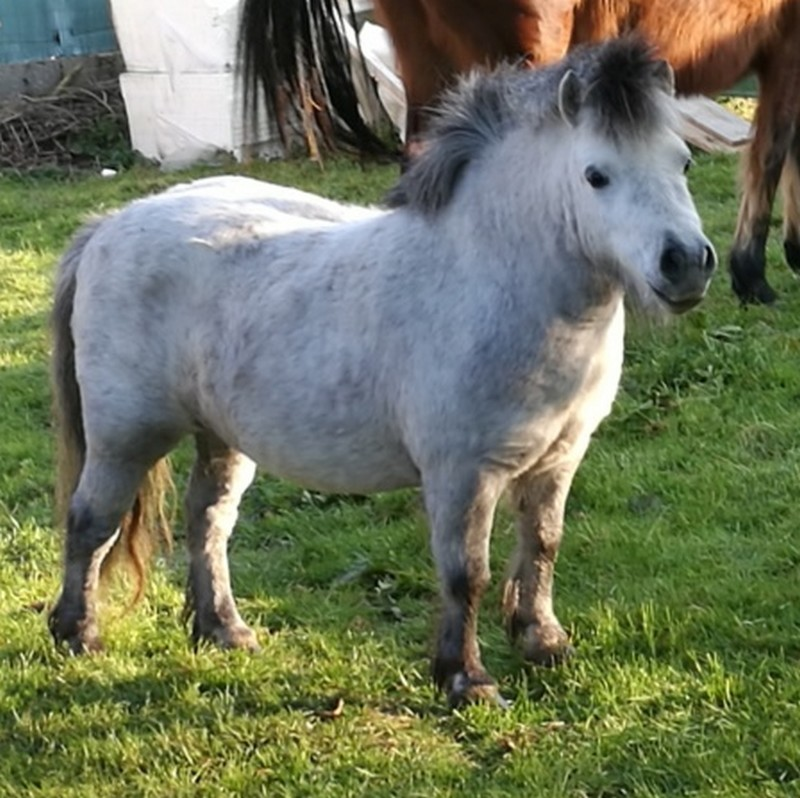 (80) CALINE – Jument ONC Poney née en 2012 – 100 € + don libre à GPLV Caline13
