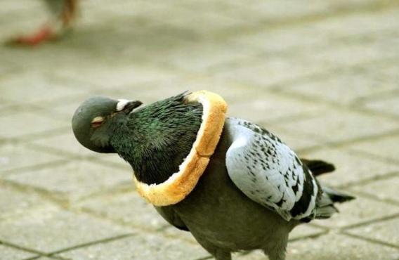 Sacrés pigeons!!! 710