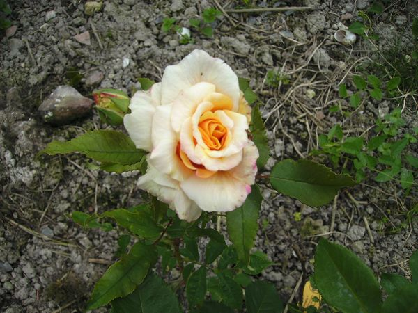 Rosa Caramella  Carame11