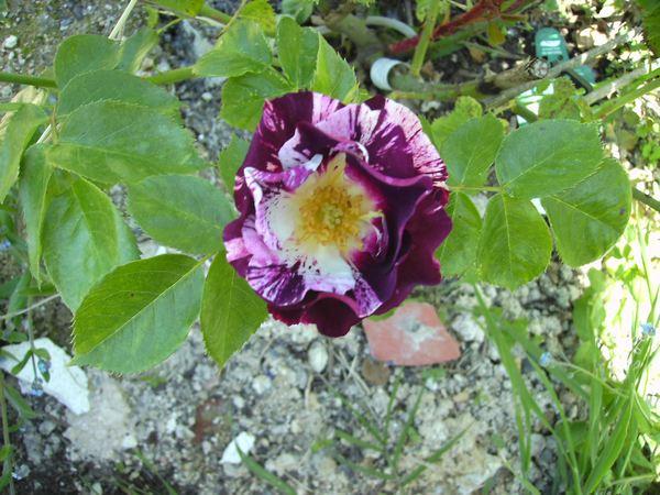 Rosa Purple Splash  Purple11