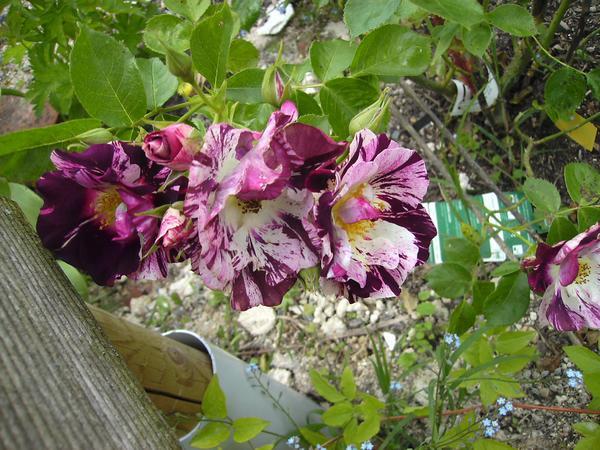 Rosa Purple Splash  Purple14