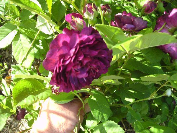 Rosa Purple Lodge  - Page 2 Purple17