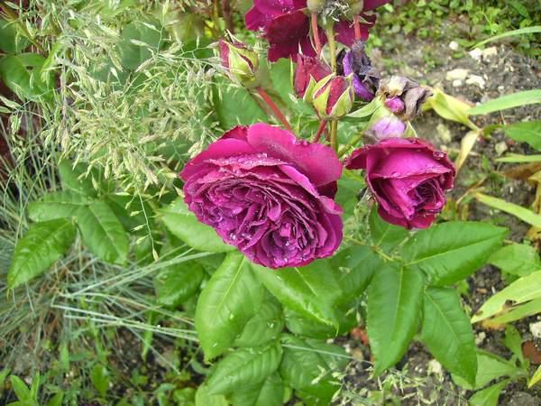Rosa Purple Lodge  - Page 3 Purple20