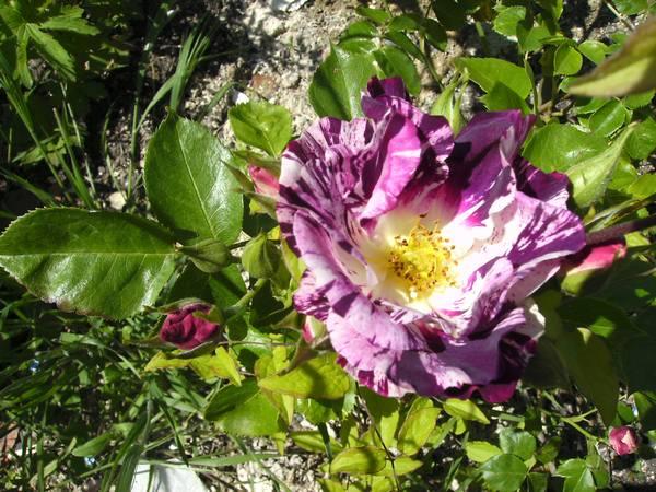 Rosa Purple Splash  Rosier17