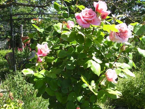 Rosa Veronese - Page 2 Verone13