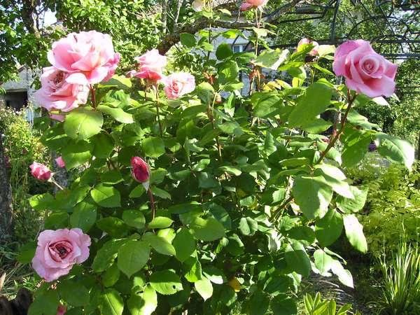 Rosa Veronese - Page 2 Verone14