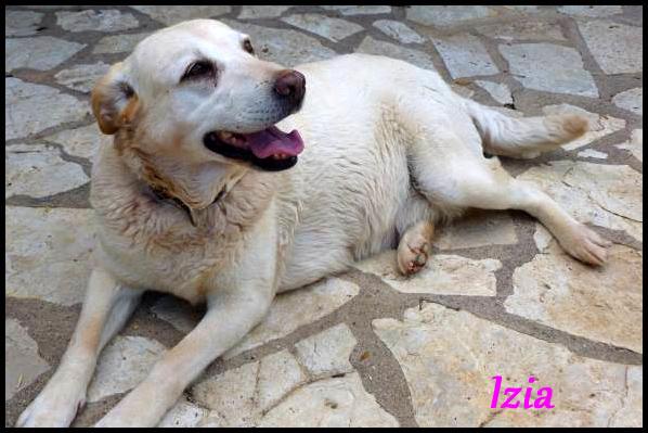 IZIA labrador sable P1000816