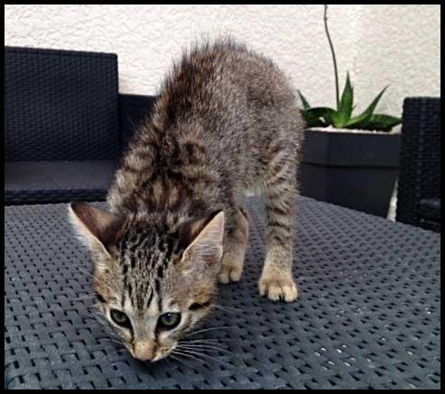 Petit chaton tigré 2 mois Photo11