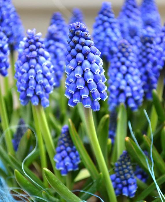 Springtime in N. Rhode Island USA Muscar11