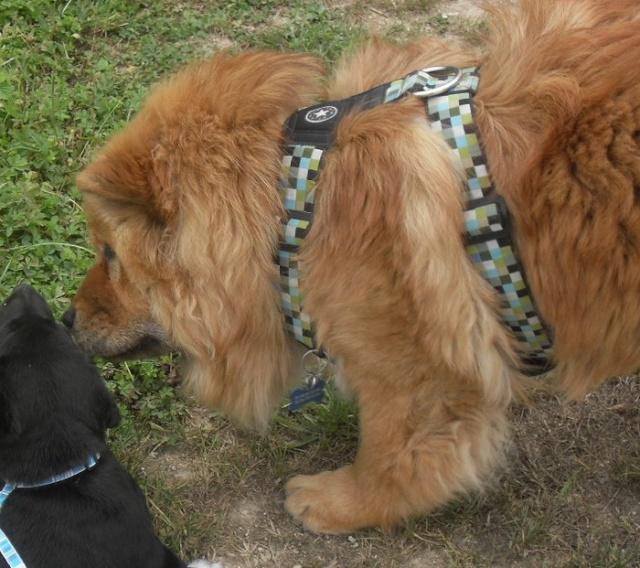 Vos chiens et leurs harnais! Photo  24juil10