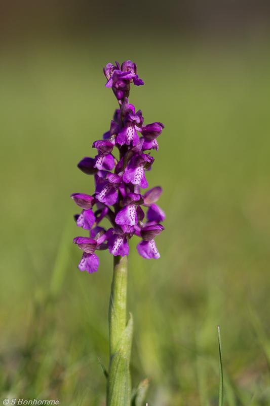 Orchidée gelée Herorc11
