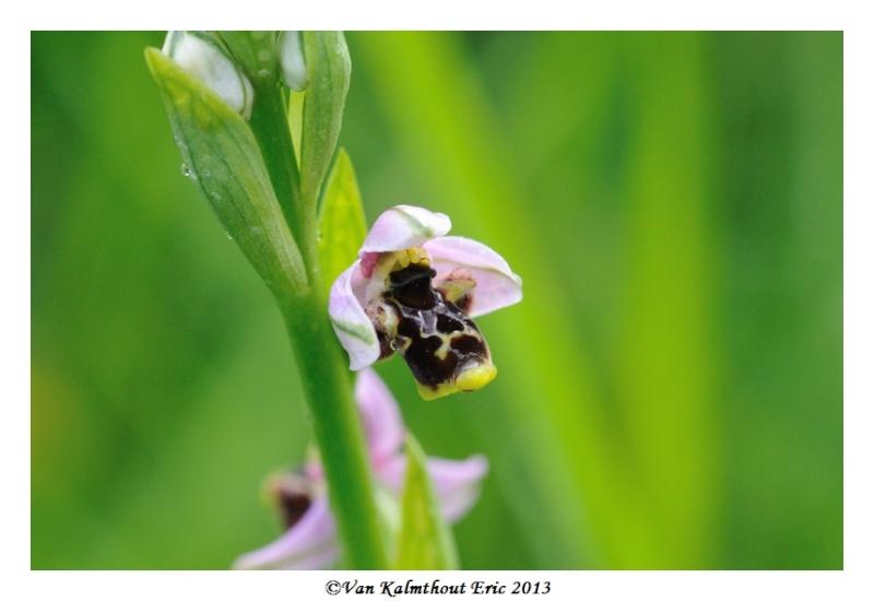 Ophrys santonica en PCV A_110