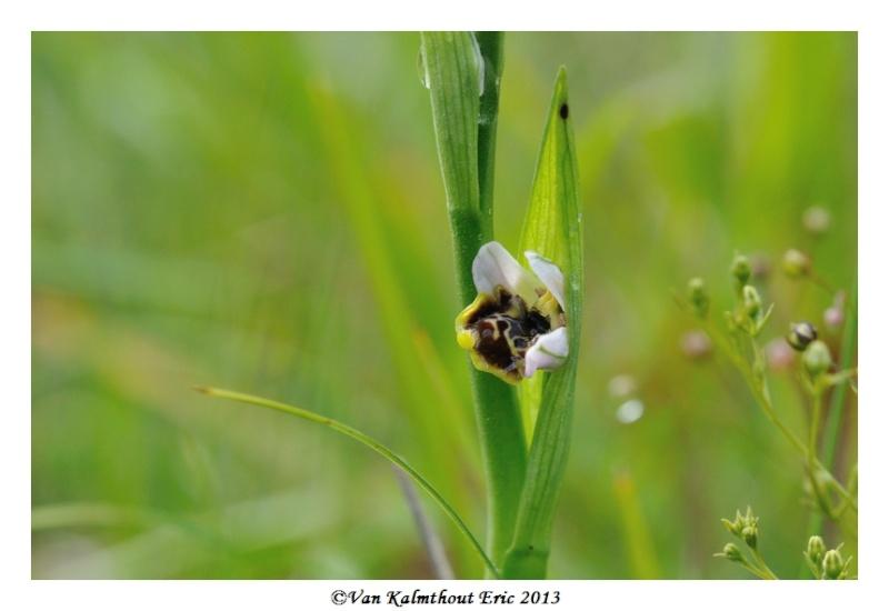 Ophrys santonica en PCV A_210