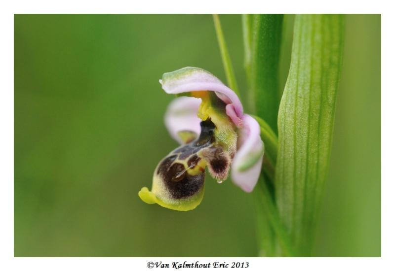Ophrys santonica en PCV A_310