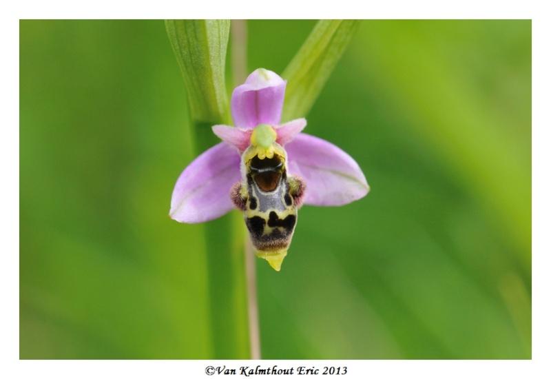 Ophrys santonica en PCV A_510