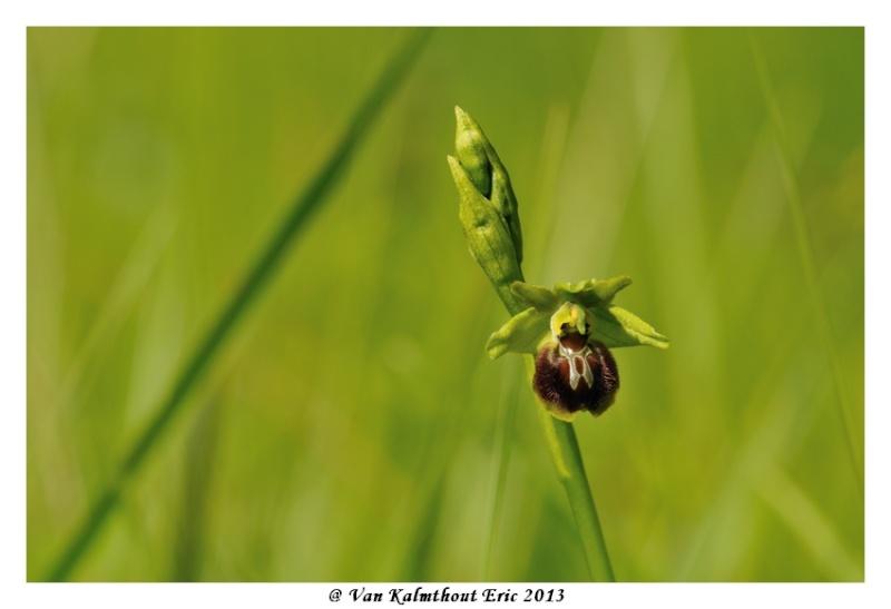 Ophrys argensonensis (Ophrys d'Argenson) Evk_7710