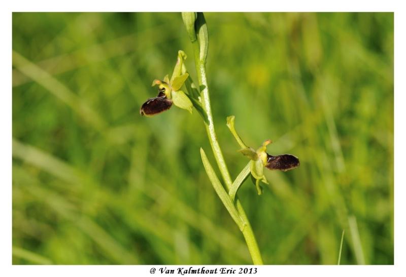 Ophrys argensonensis (Ophrys d'Argenson) Evk_7711