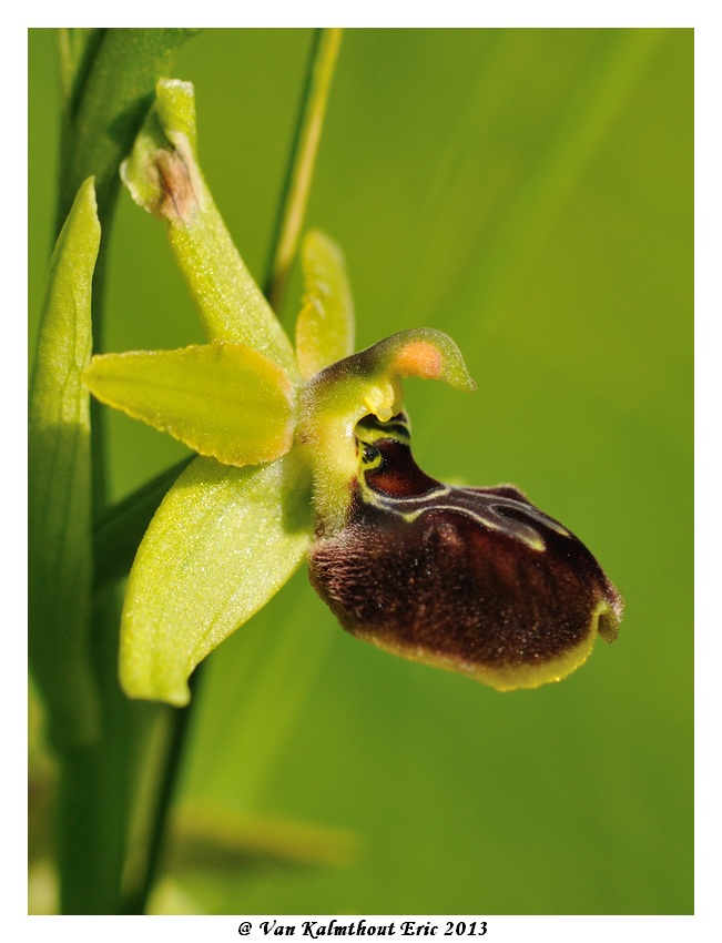 Ophrys argensonensis (Ophrys d'Argenson) Evk_7713