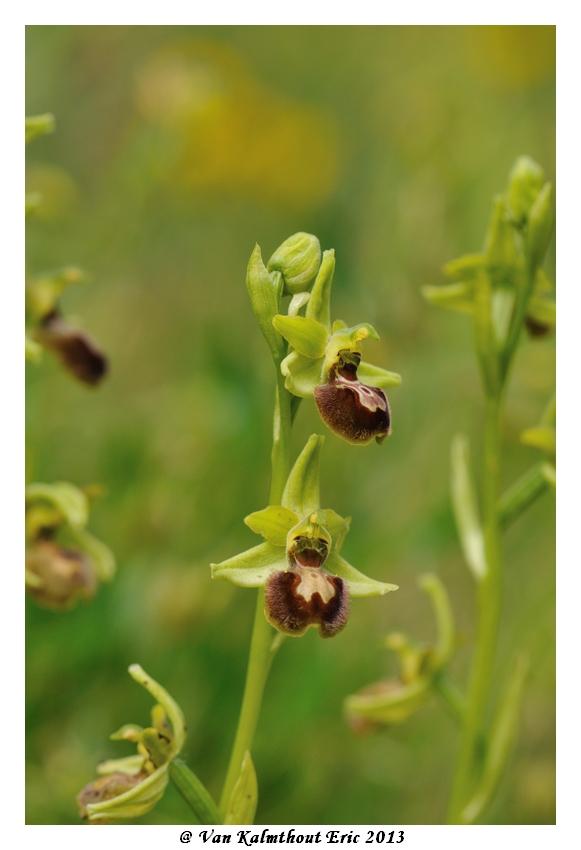 Ophrys argensonensis (Ophrys d'Argenson) Evk_7810