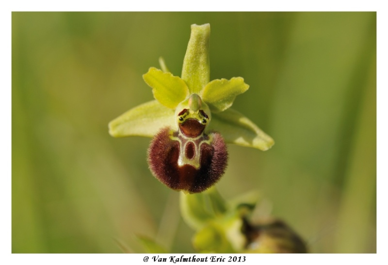 Ophrys argensonensis (Ophrys d'Argenson) Evk_7912