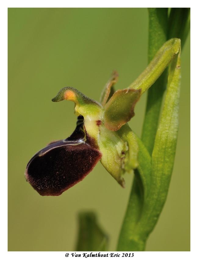 Ophrys argensonensis (Ophrys d'Argenson) Evk_7914