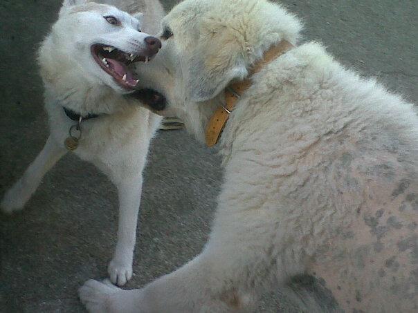 Girly, Husky cuivré moins d'un an(f)REF77 [decedée] - Page 2 Giii10