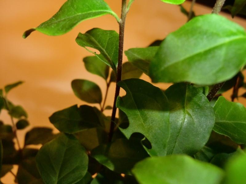 Chi ha bucato le foglie del mio ligustro? Buco_l11