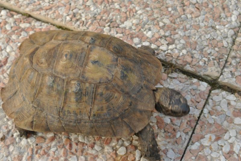 Identification de ma tortue Dsc_5914