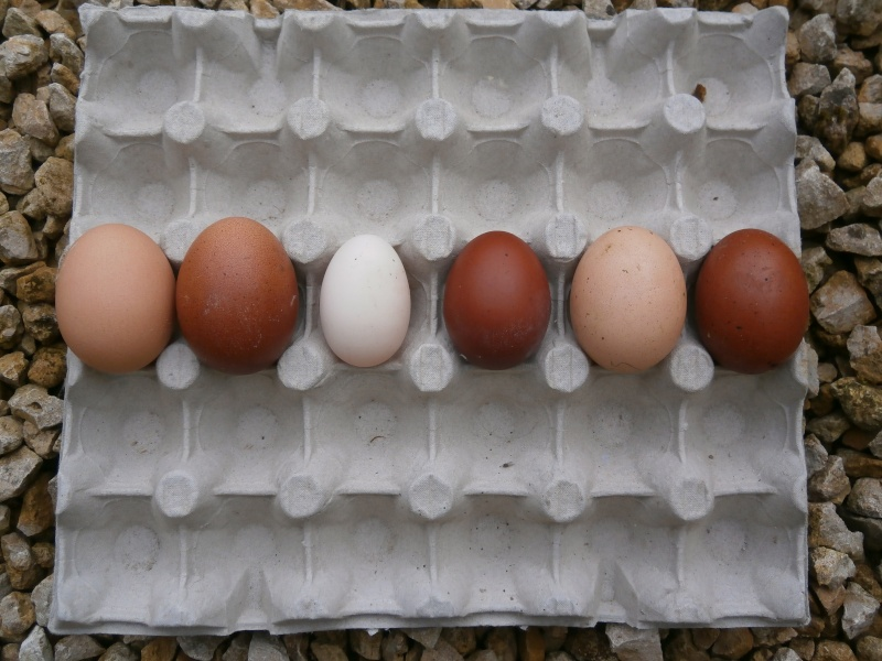 Des œufs normaux ! P5090010