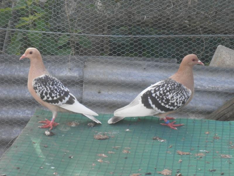 mes différents élevages. Pigeon10