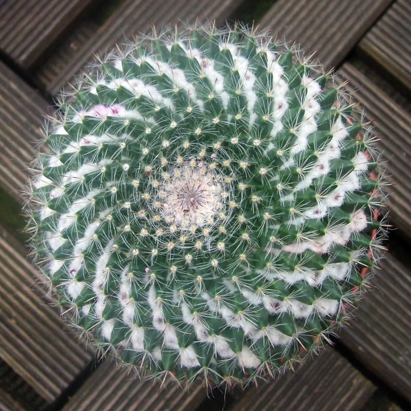 ID Mammillaria 2013_011
